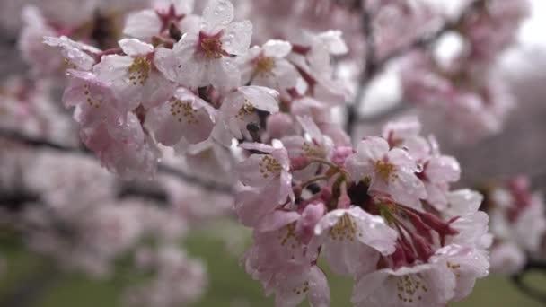 Cherry blossoms(sakura) v dešti (ptačí pípání je také zaznamenán.)