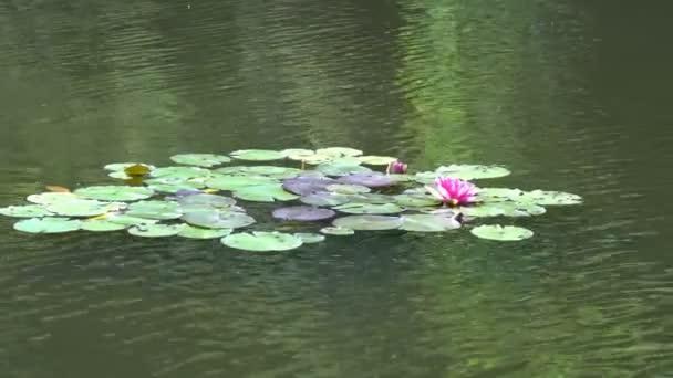 Leknín, lotos na rybníku
