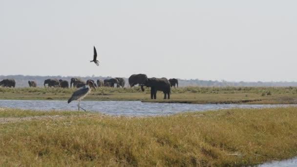 Slon a marabou stork v Chobe National Park