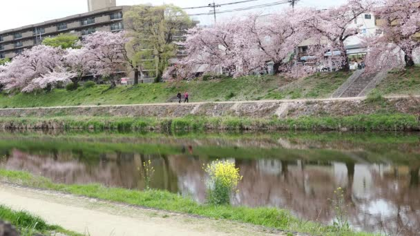 Kyoto,Japan-April 3, 2021: People walking under Cherry blossom trees along Kamo River in Kyoto
