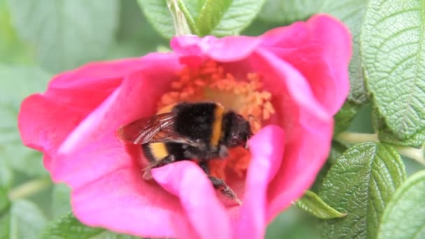 red flower bee collects pollen