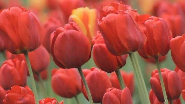 Nagy piros tulipán