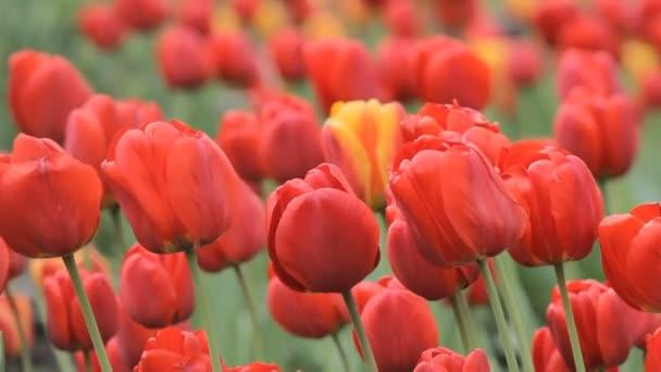 Velké červené tulipány