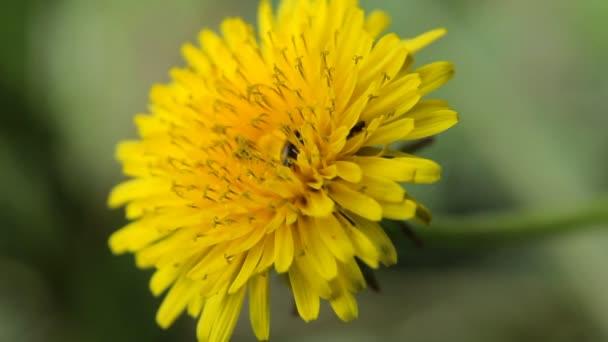 velký žlutý květ