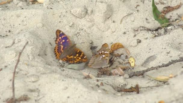 Dva motýli sedí zblízka na písčitém povrchu, odpočívají na písku a sají chobotem vlhkost ze dna země, než náhle odletí..