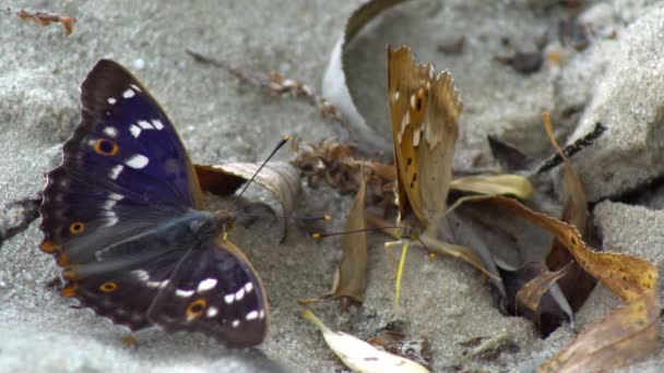 Two butterflies sit close-up on a sandy surface, resting on the sand and sucking moisture from the bottom of the ground with their trunk, before suddenly flying away.