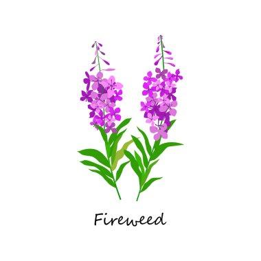 Chamaenerion. Fireweed. Wildflower. Botany Set herbs.