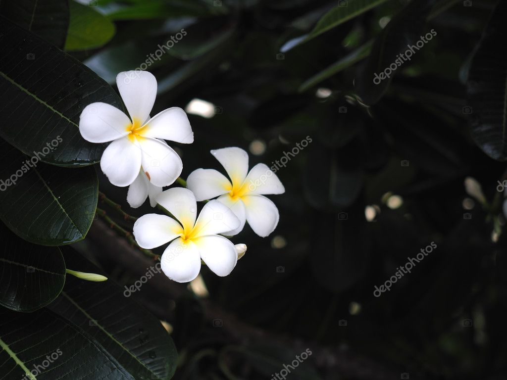 plumeria frangipani flowers white and yellow  with green leaf