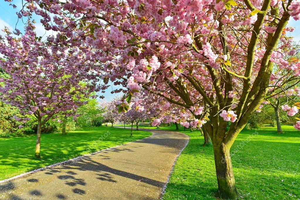 Beautiful Cherry Blossom Trees