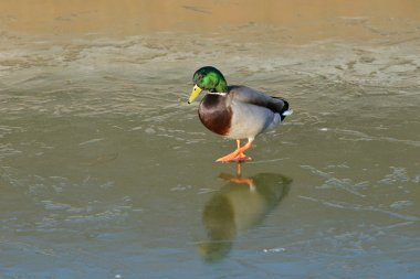 View of a Wild Duck Walking on a Frozen River