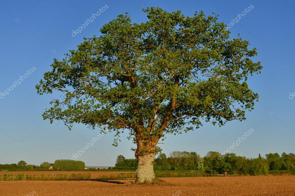 Countryside View of Ploughed Farmland with a Lone Oak Tree