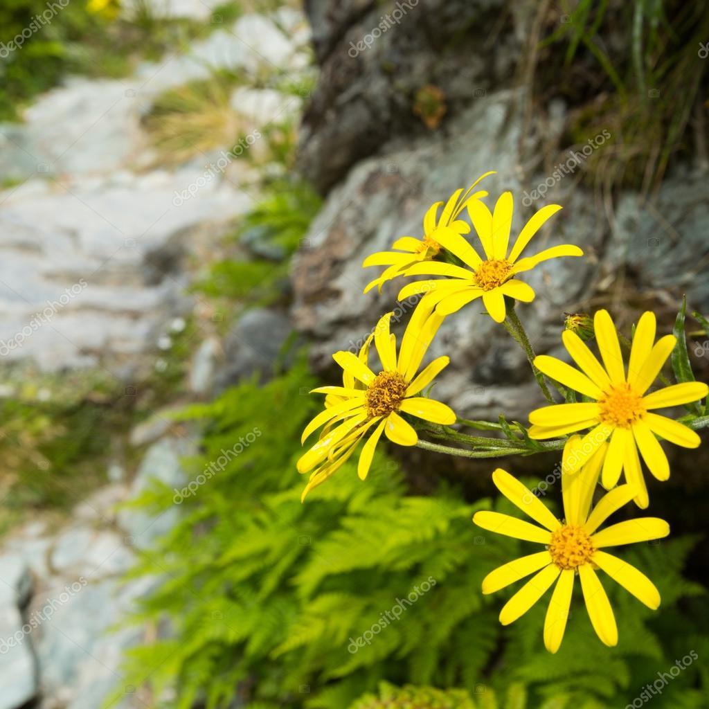 Fiori Alpini Gialli.Yellow Alpine Flower Stock Photo C Lostation 108480572