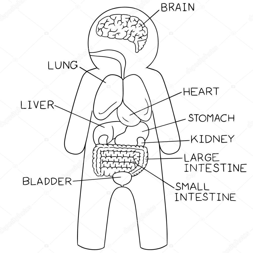 vector set of internal organs  u2014 stock vector  u00a9 ourlifelooklikeballoon hotmail com  107420668
