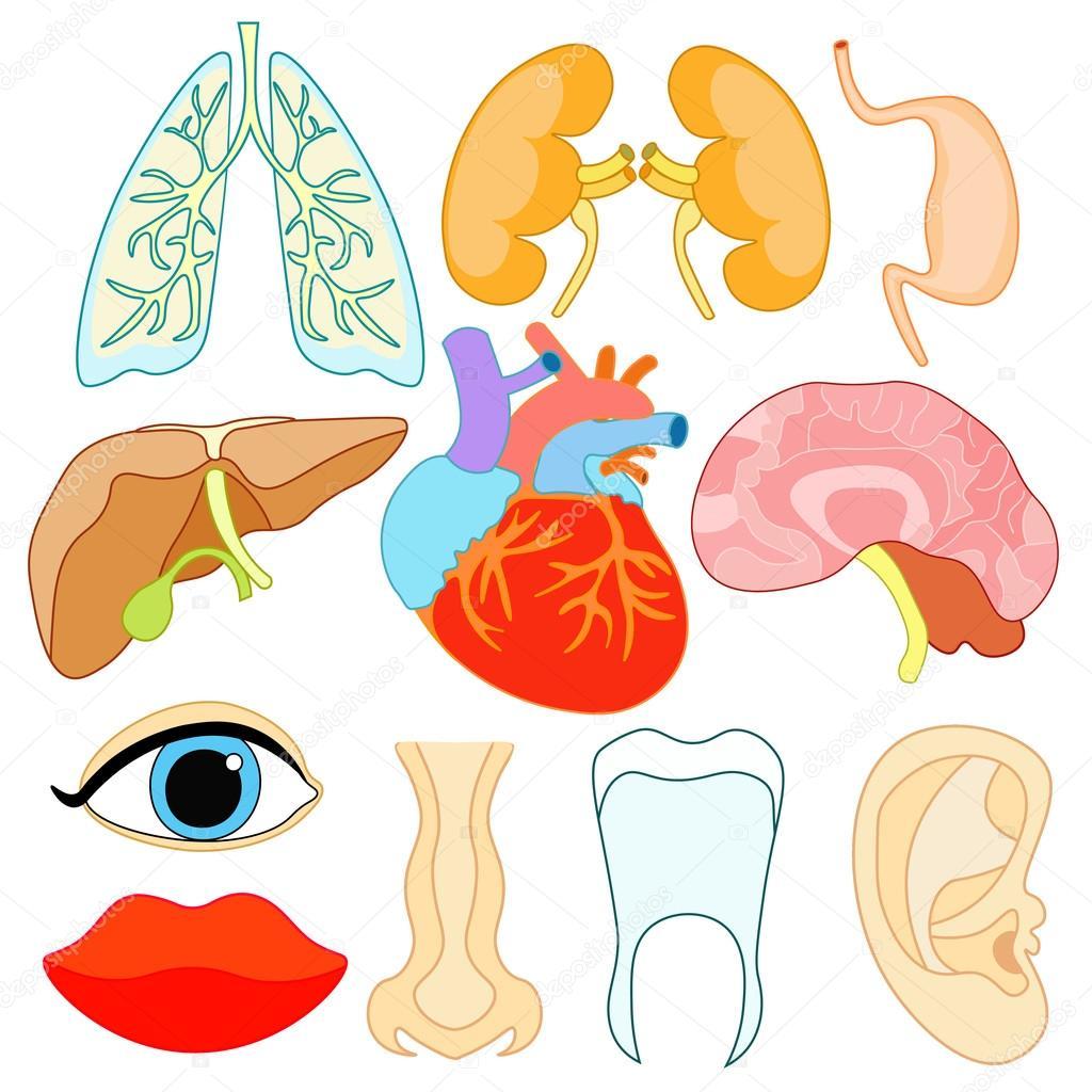 conjunto de órganos dentro del cuerpo humano y cara. Ilustración de ...