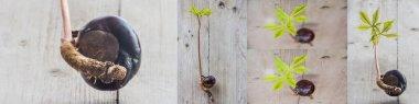 Conker tree germination