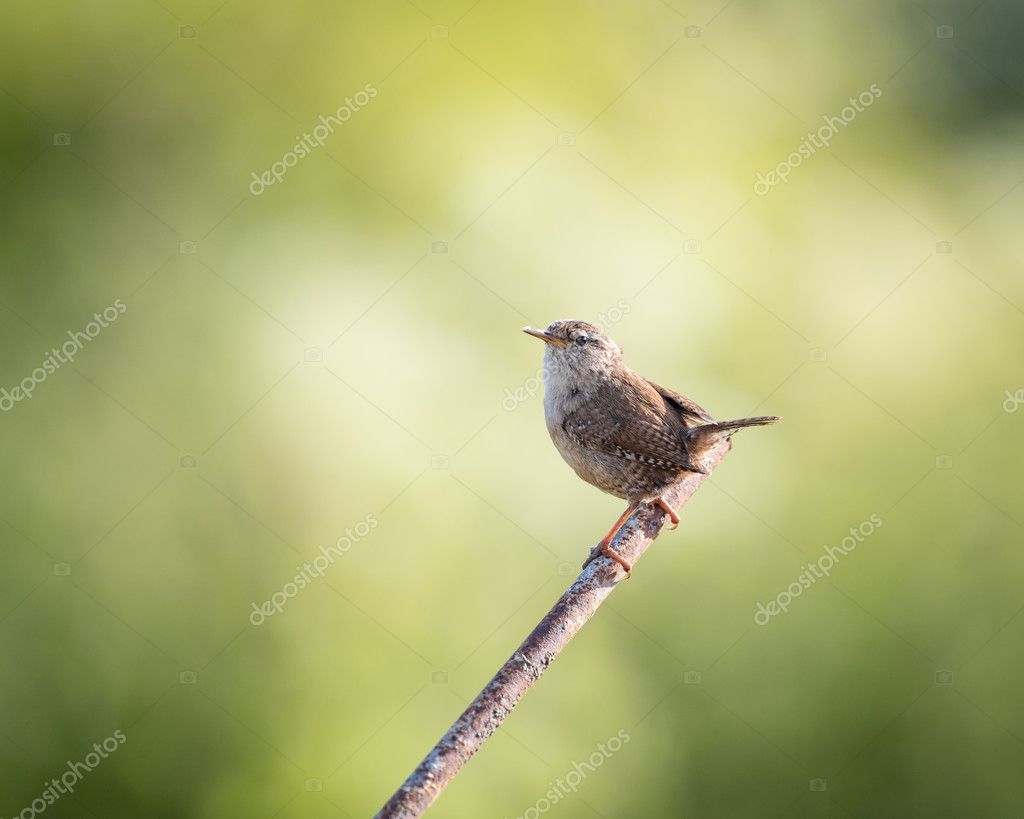 Wild wren set on metal post with green background (Troglodytes troglodytes)