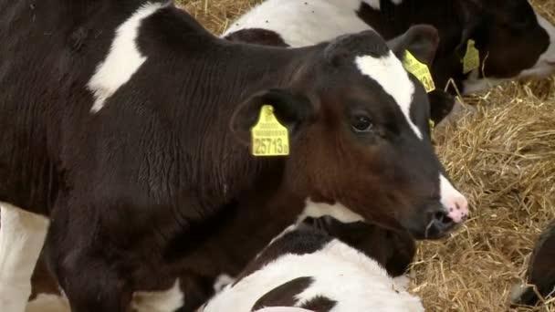 Farma zvířat, chov krav