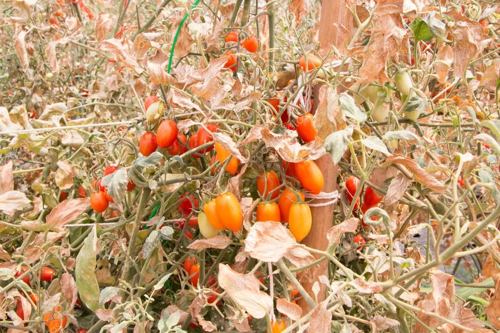 tomatoes and leaf was damage by heat and drought