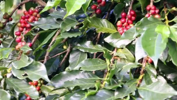 Schwenken Sie über rote Arabica-Kaffeebohnen auf der Plantage