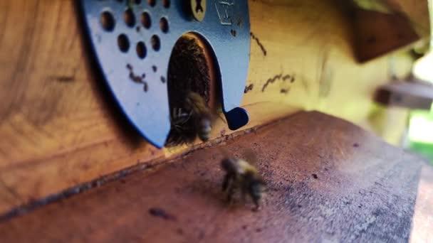 Honigbienen fliegen im Bienenstock auf dem Frühlingsfeld umher. Die zurückkehrenden Bienen fliegen zurück in den Stock.