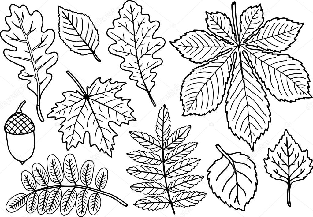 Hand Drawn Vector Coloring Page Black And White Autumn Leaves Coilection Isolated Element Herbarium Sheets Of Oak Acacia Mountain Ash Maple Cherry