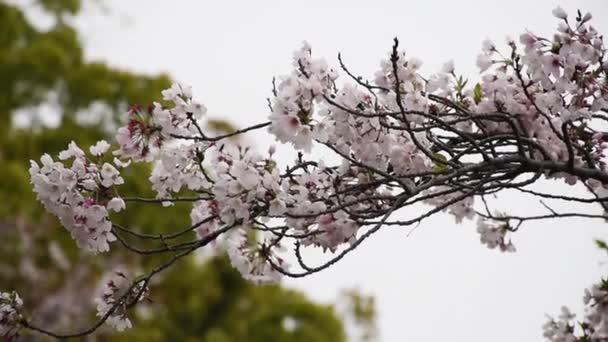 Třešňové květy nebo Sakura v sun shine den