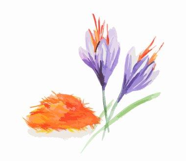 Watercolor saffron flowers.