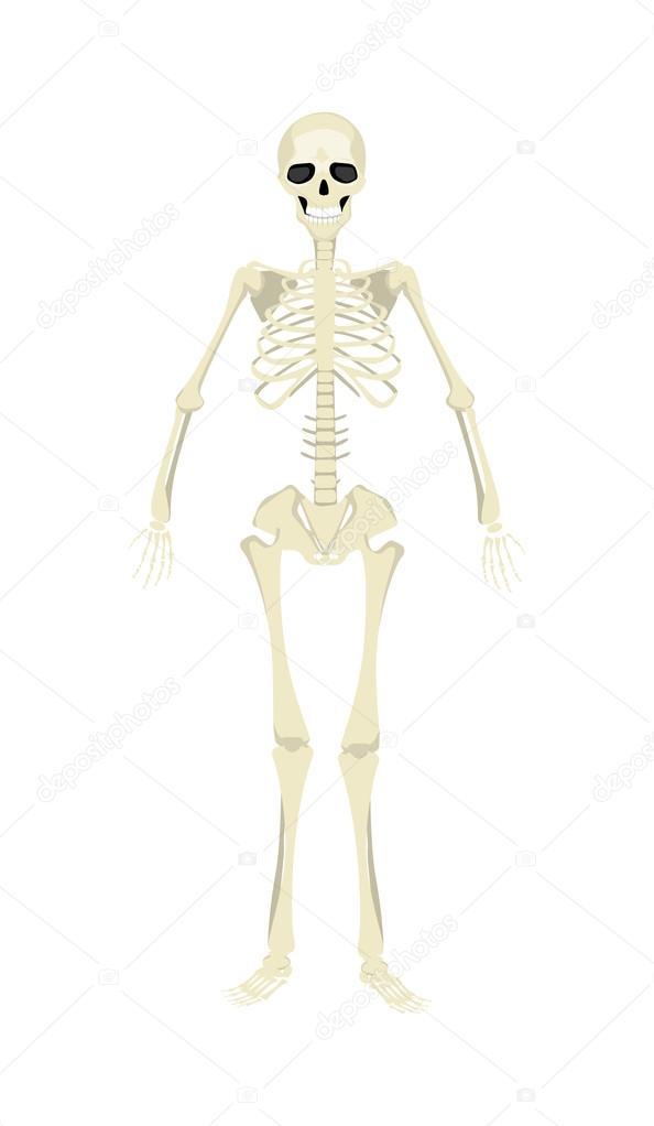 Esqueleto humano aislado — Vector de stock © inspiring.vector.gmail ...