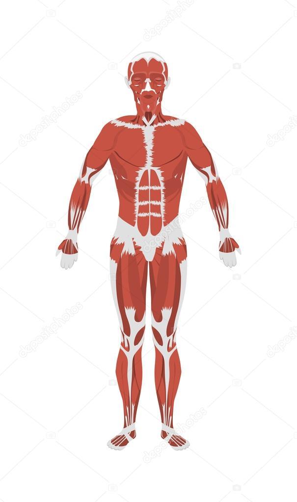 Anatomie der menschlichen Muskeln — Stockvektor © inspiring.vector ...