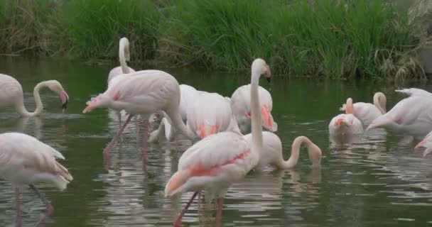 Group of Flamingos Resting in a Small Pond With Green Grass