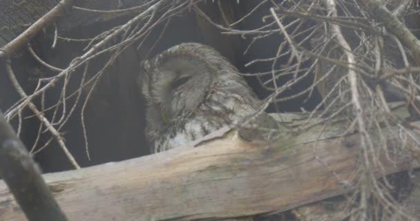 Sova sedí v hnízdě, hluboce ve větvích stromů