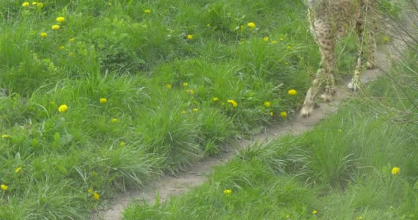African Leopard Zoo Walking Along the Narrow Path Between the Green Fields Covered With Yellow Flowers