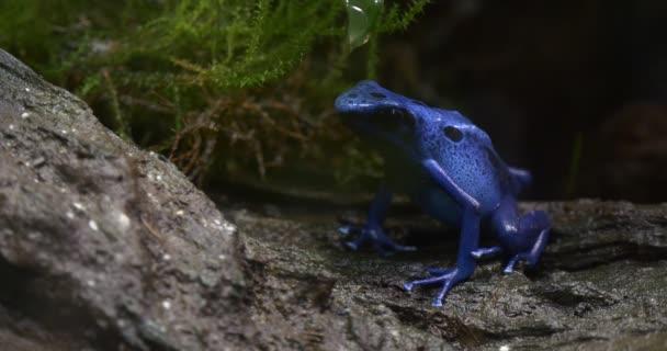 blauer Frosch sitzt im Dschungel, auf der grauen Rinde eines Baumes