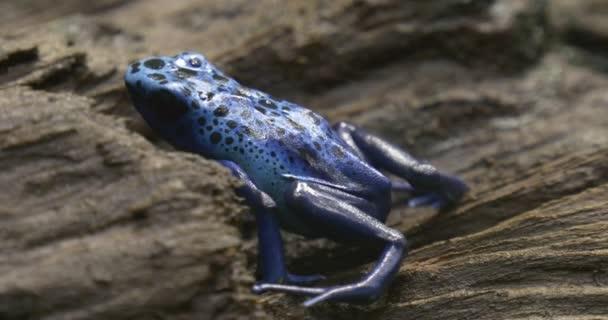 nel centro del telaio, vediamo la rana blu che si siede nella giungla, il grigio corteccia di un albero