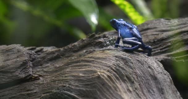 Kék levelibéka mászik egy fa kéreg esőerdő.
