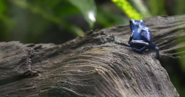 Kék levelibéka ül egy fa az esőerdők.