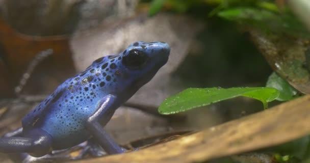 Raganella blu nella foresta di vegetazione tropicale