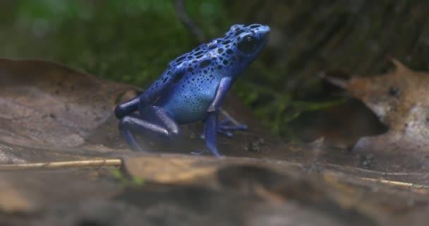 Kék levelibéka egy fa dzsungel alatt mozdulatlanul ült és nézett fel.