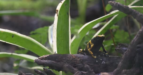 the Yellow-Banded Poison Dart Frog in the Jungle
