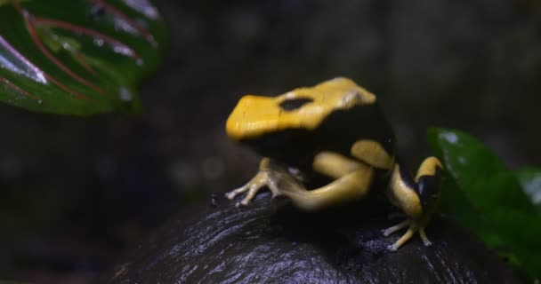 Rana Phyllobates Bicolor seduta su frutta nera