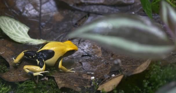 Yellow and Black Frog in the Jungle