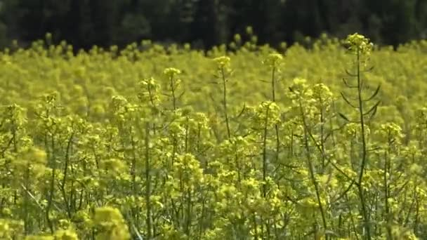 Field mustard yellow flowers stock video svideo13il 122390198 field mustard yellow flowers stock video mightylinksfo
