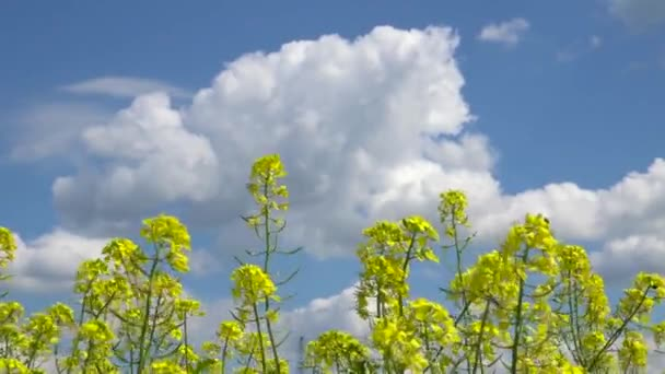 Field mustard yellow flowers stock video svideo13il 122390446 field mustard yellow flowers stock video mightylinksfo