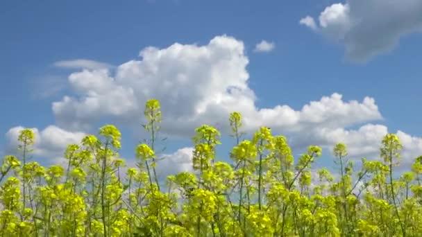 Field mustard yellow flowers stock video svideo13il 122390502 field mustard yellow flowers stock video mightylinksfo