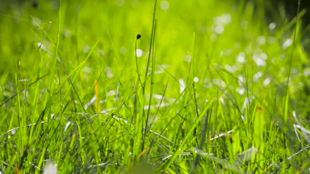 Blurred Grass Background With Water Drops. HD