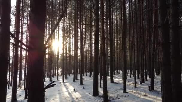 Kiefernwald im Winter mit Sonnenstrahlen, die durch Bäume scheinen
