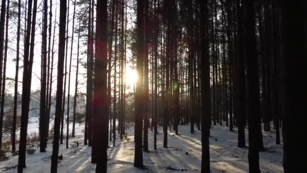 Pine forest in winter with sun rays shining through trees