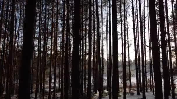 Borový les v zimě se slunečními paprsky zářícími mezi stromy