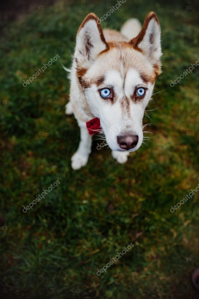 хаски взрослая собака фото