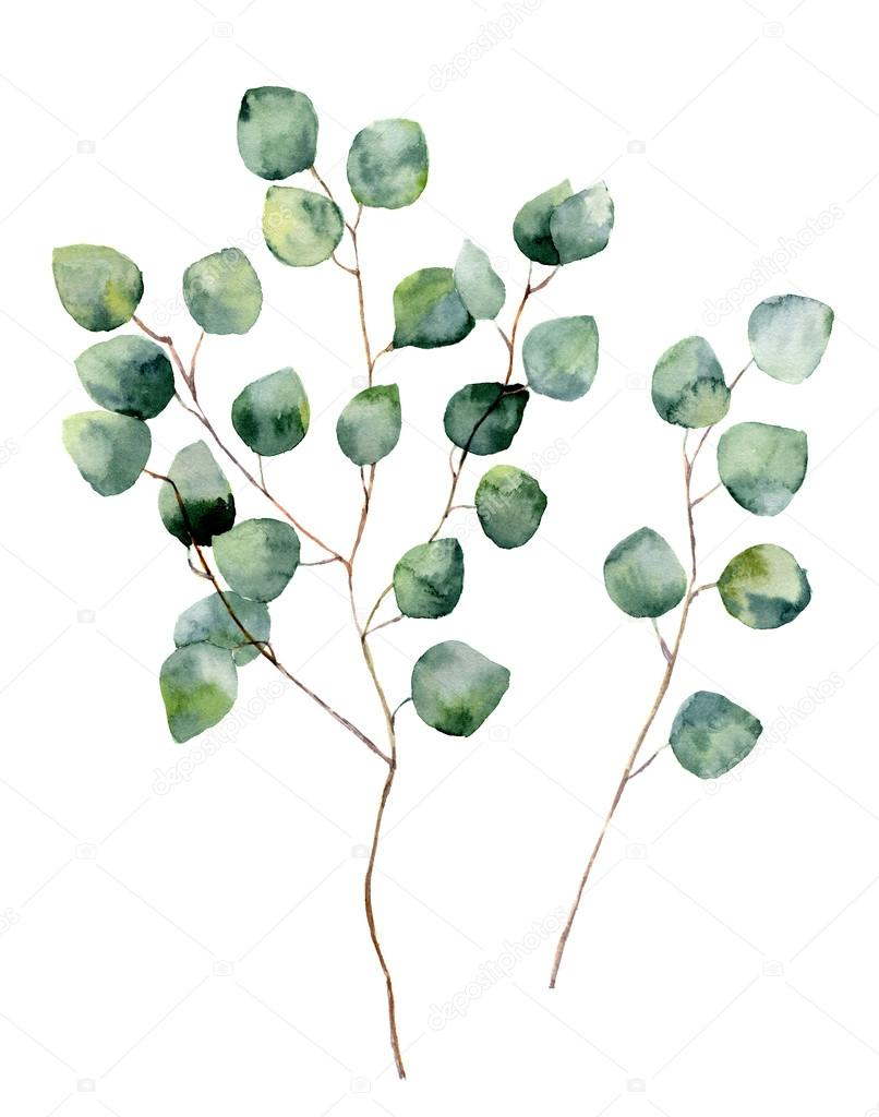 Watercolor silver dollar eucalyptus with round leaves and branches. Hand painted eucalyptus elements. Floral illustration isolated on white background. For design, textile and background.